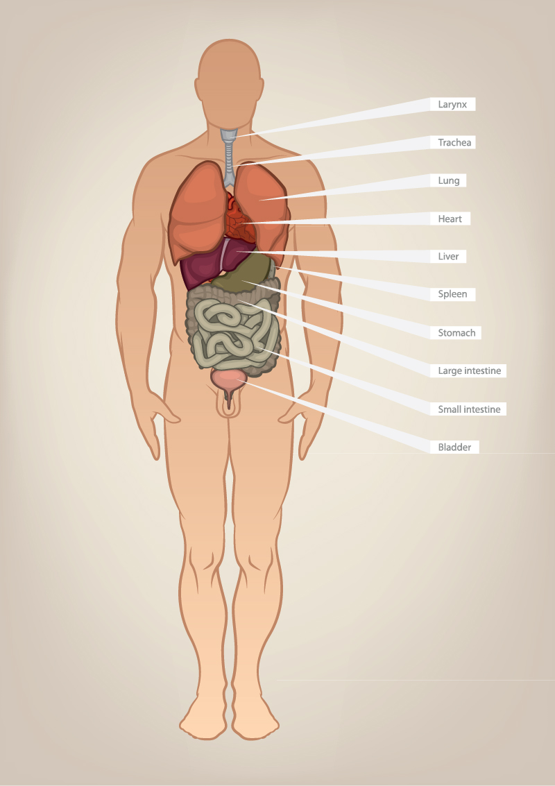 Internal-Abdominal-Human-Organs-1